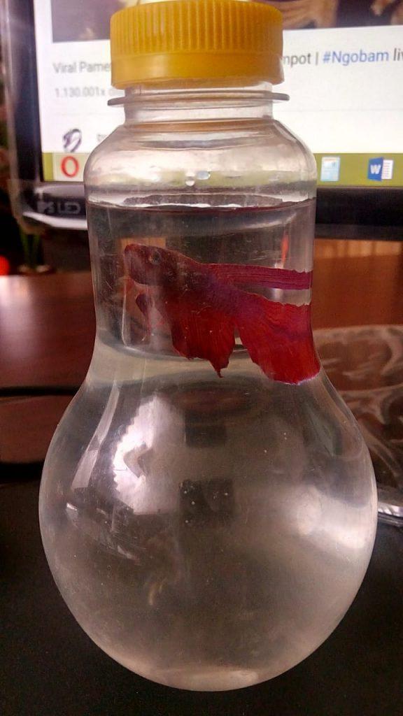 Ikan Cupang Siap Tempur