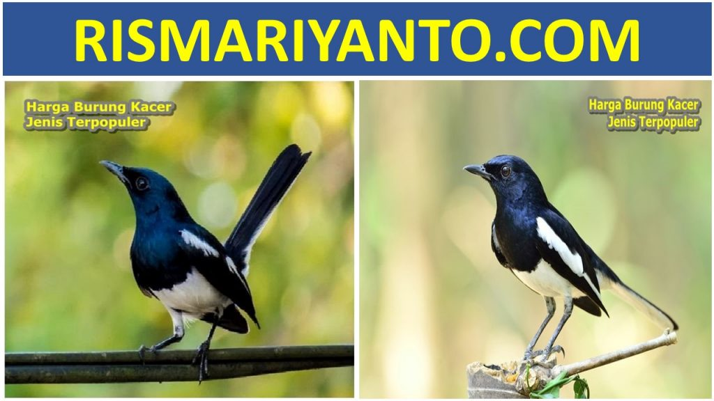 Harga Burung Kacer Jenis Terpopuler 2020